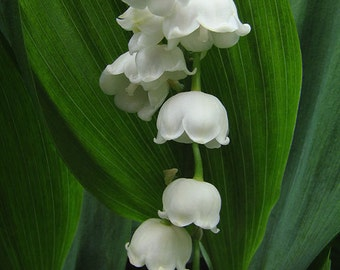 Lily of the Valley - Sweetness and Light