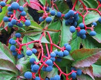 Parthenocissus QUINQUEFOLIA VAR MURORUM 50 seeds