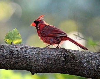 Bright Red Male Cardinal Perched On Branch Wildlife Photography Fine Art Print Scott D Van Osdol Tree Resting Perch State Bird Indiana