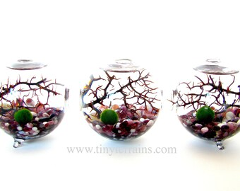 Mother's Day Gift Marimo Terrarium: 3-attached Glass Globes, Japanese Marimo Moss Balls, 23 colors, Gift Wrap, Card, Fast Shipping