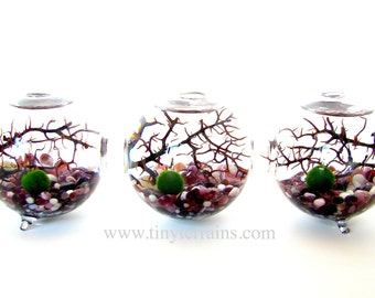 Marimo Terrarium Kit: 3-attached Glass Globes, Japanese Marimo Moss Balls, 23 colors, Gift Wrap, Card, Fast Shipping