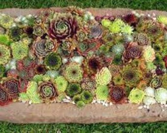 Sempervivum Wedding Package - Assortment of 40+ Plants made up of 3 species - Hens and Chicks - Not succulent cuttings but rooted plant!