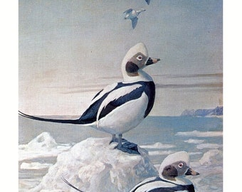 Bird, vintage print, Oldsquaws by Louis Agassiz Fuertes