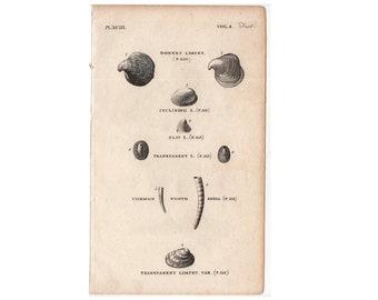 1812 ANTIQUE SHELL ENGRAVING original antique sea shore ocean print  - limpet shells B