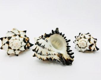 Murex negritus, murex shell, black and white shell, seashell, black and white shell tillandsia shell crafting