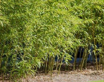 Giant Gray - Live Bamboo Plant