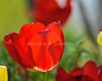 Red flower, blooming flower photography