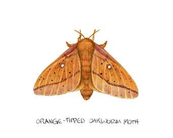 Orange-tipped Oakworm Moth (Anisota senatoria)