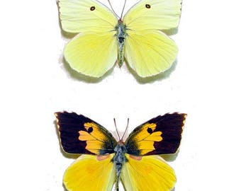 CALIFORNIA STATE BUTTERFLY