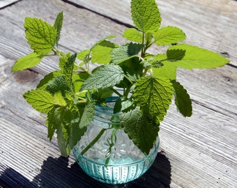 Lemon Balm Seed, Melissa officinalis, Fragrant Herb Garden, Great for Bee Gardens and Pollinator Gardens, Easy to Grow Non GMO Herb Seeds