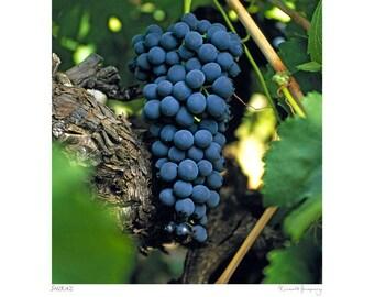 Shiraz grape bunch