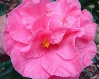 Camellia japonica 'Marie Bracey' aka 'Spellbound' (Quart Pot)