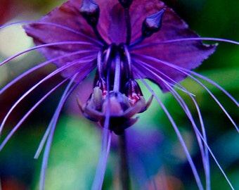 Black Bat Flower - Fine Art Photo Greeting Card - Exotic Flower Photography -  Blank Note Card - Wild Nature Greeting Card - Purple Flowers