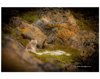 Fox, Blank Photo Card, Devon Island, Wildlife, Feeding, Arctic Fox, Nunavut, Northwest Passage