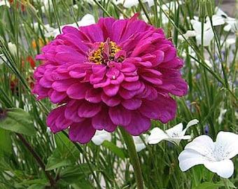 Zinnia Seeds Giant Violet Queen, Flower, Attract Butterflies, 20 Seeds
