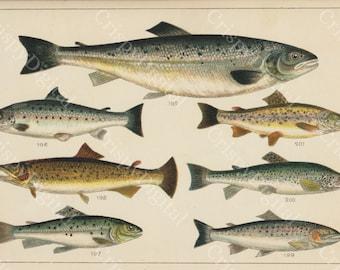 Vintage Fish Illustration, Fish Wall Art, Fish Print, Vintage Salmon and Sea Trout Digital Download, Fish Printable Art