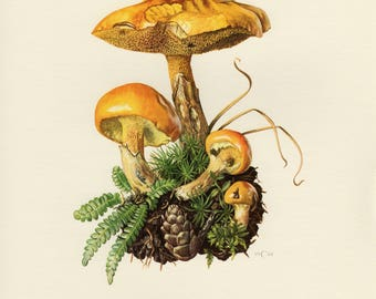 Vintage lithograph of Greville's bolete or larch bolete from 1961