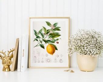 Lemon botanical illustration. Botanical print. Lemon illustration print. Home decor. Wall art. Kitchen decor. Lemon poster. Citrus print.