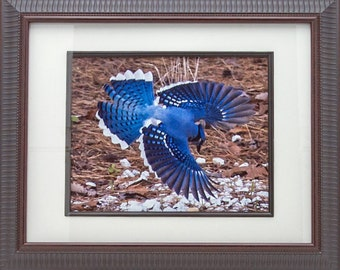 Nature Photograph Bird Photograph Photograph Portrait Of A Blue Jay Nature