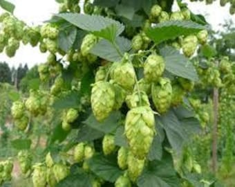 Whole Cone Cascade Hops