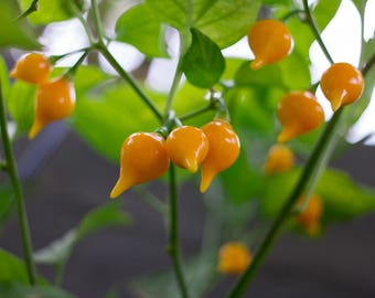 Biquinho(Chupetinha) Yellow, Organic Grown Pepper Seeds