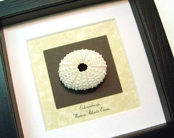 Real Framed Museum Collection, echinoidea sp White Sea Urchin Seashell S1501W