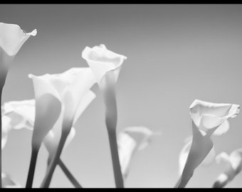 Garden of Calla Lilies - Flower photo - Botanical - black and white photography - 8x12 or 4x6