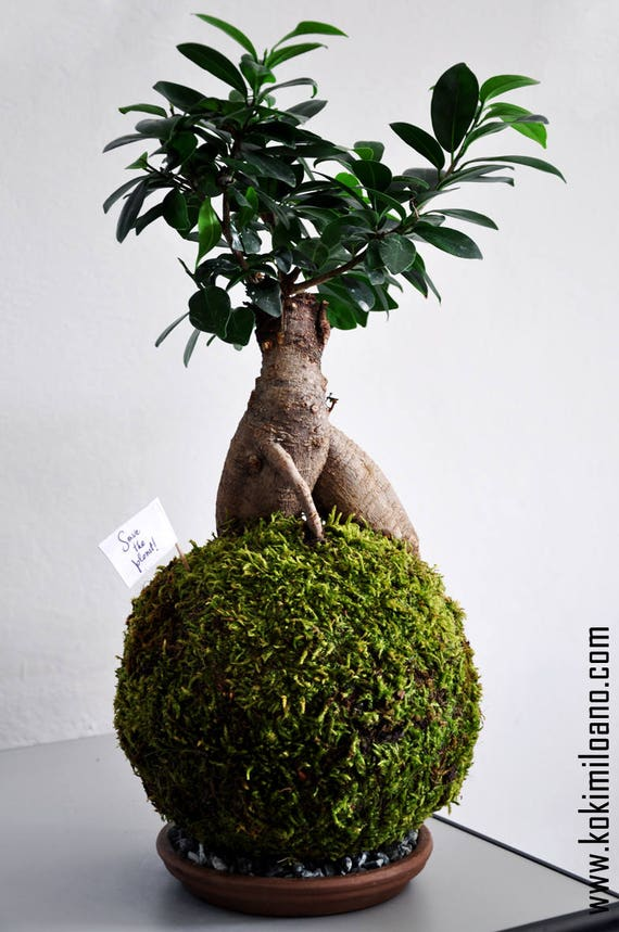 kokedama ficus ginseng string garden bonsai ficus string. Black Bedroom Furniture Sets. Home Design Ideas