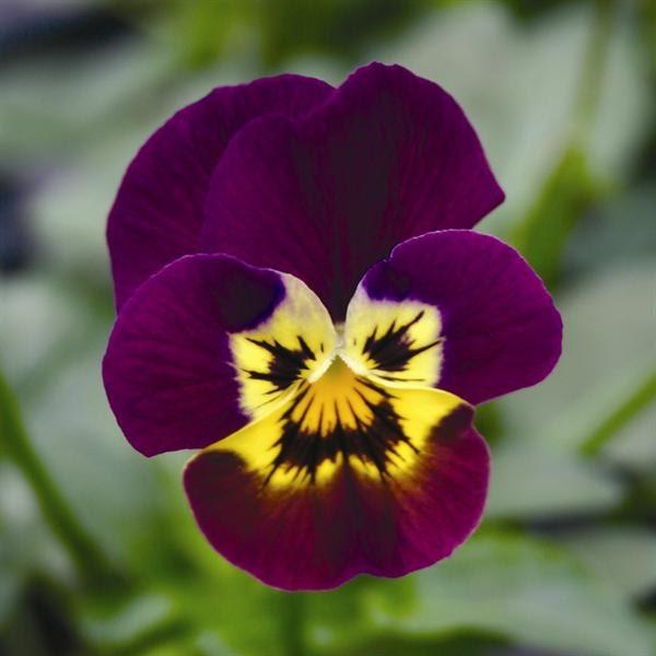 Viola seeds skippy lavender yellow face unique garden flower zoom mightylinksfo Images