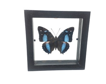 Stunning Baeotus Deucalion Butterfly/Insect/Taxidermy/Lepidoptera