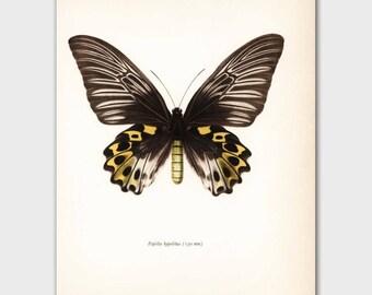 "Butterfly Print (Vintage Bedroom Wall Decor) 1960s Black and Yellow Loft Art ""Golden Island Birdwing"" No. 58-1"