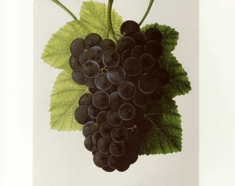 Concord Grapes Print by Prestele Botanical Book Plate SALE Buy 3, get 1 more Free
