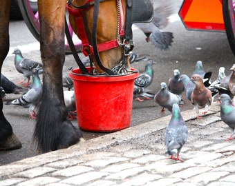 Photgraph of Horse Feeding, Central Park, NYC