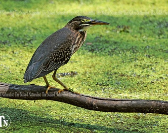 Green Heron, Nature Photography, Birds, Fine Art, Avian, Water, Lily Pads, Green, Brown