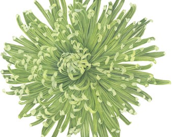 Watercolor Painting, Chrysanthemum Flower Print, Botanical Flower, Art by Sally Jacobs, Green, Spider Mum Flower
