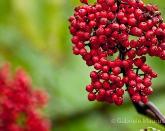 A power red //  instant download / jpg file / home decor / wall art / Viburnum