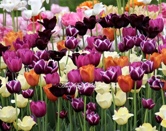 Tulip Photography, Colors,Purple, Orange, Pink, Nursery, Dorm Decor, Preppy Print,Spring, Tulip Field, Flower Decor,Vibrant,Flower,Wall Art