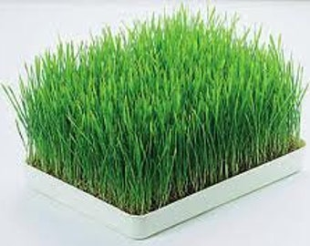 500 BULK Seeds. Cat Grass, Wheat Grass, Healthy, Organic, Easy to Grow