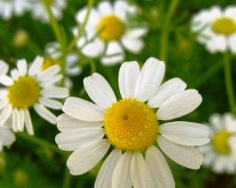 German Chamomile Seeds Herb, Herbal Tea, Flower, Garden, 25 Seeds