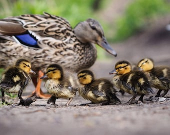 Duckling Family at the Pond