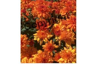 Field Of Orange Mums Photo
