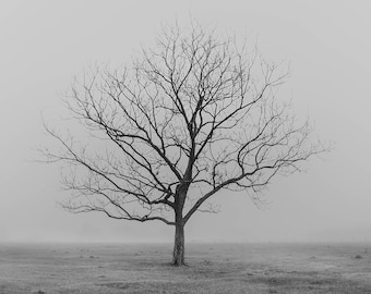 Foggy Pecan Tree at Sunrise