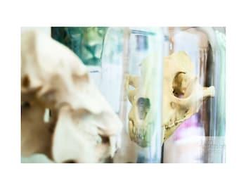 Original Photo Print-  Cat Skulls Under Glass, Woodland Park Zoo, Seattle WA, 8x12