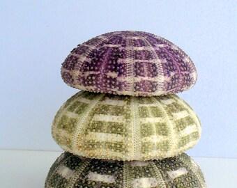 Large Sea Urchin Alfonso Pair and a FREE air plant shell, sea shell, seashell, seaurchin, sale, wholesale, bulk, wedding favors, terrarium