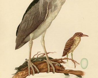 Vintage lithograph of the night heron from 1953