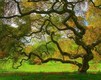 Threadleaf Japanese Maple Tree in Spring Fine Art Landscape Photograph Green Zen Nature Home Decor 16X24 Tree of Life Woodland Art Print