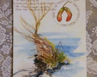 Maple Seedlings, sketchbook art, artist notes, field sketch, nature art, plein air sketch, Outer Banks, sketchbook reproduction