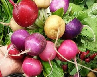 Rainbow Radish 100 Seeds - Variety of colours and shapes