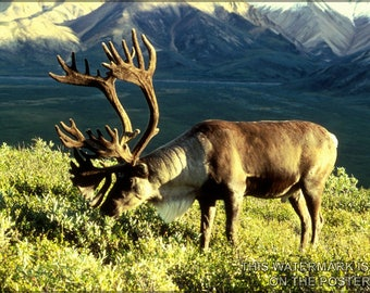 Poster, Many Sizes Available; Reindeer (Rangifer Tarandus), Also Known As The Caribou