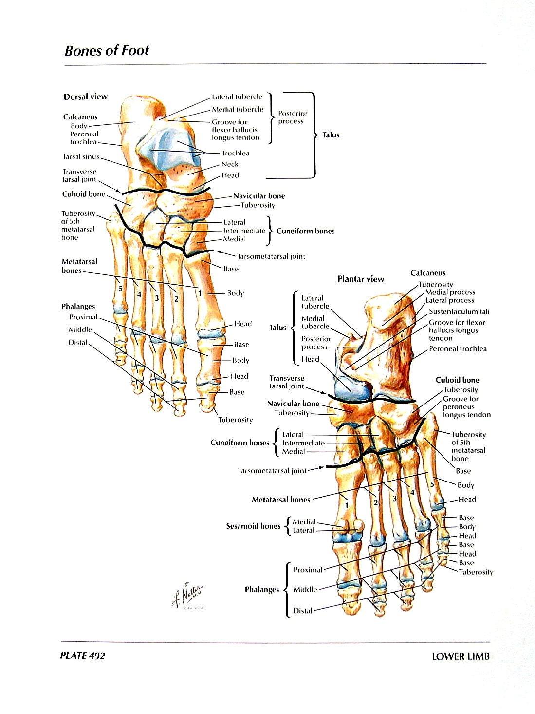 Anatomie Querschnitt Menschliches Bein Knochen des Fußes